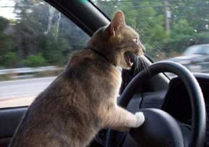 cat driving 300x211