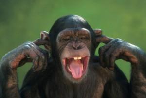 chimp 300x203