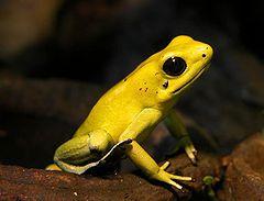 240px golden dart frog 01