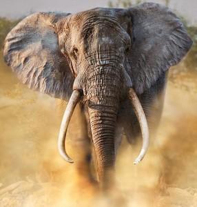 elephant 286x300