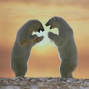 polar bears standing 300x300
