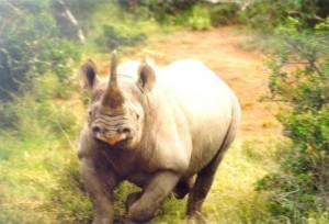 rhino 300x204