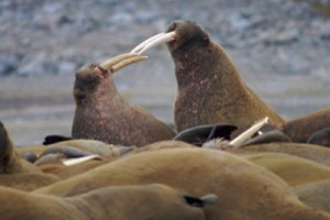 walrus 300x200