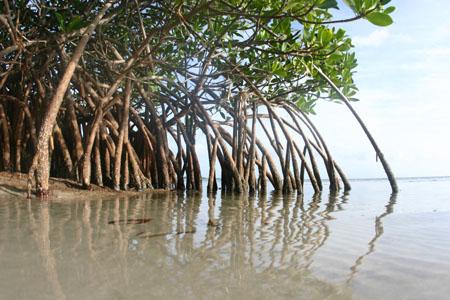 mangrove0459sm