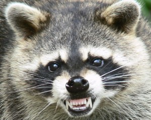 raccoon 300x240