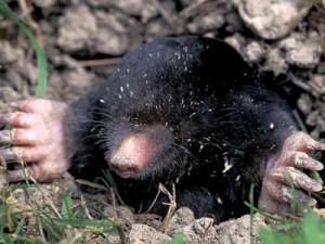 mole large 300x225