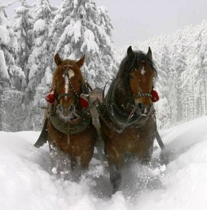 clydesdales in snow 295x300