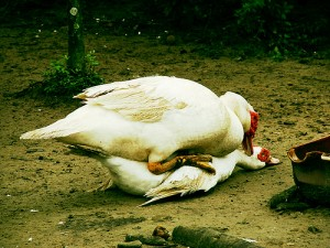 ducks 300x225