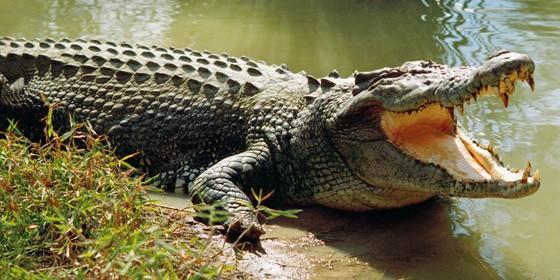 Crocodile 560x280