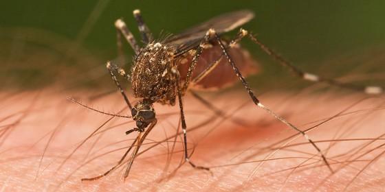Mosquito 560x280