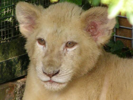 LION 560x420