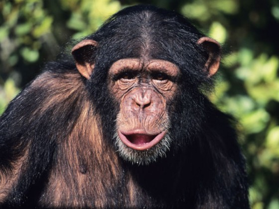 chimpanzee 560x420