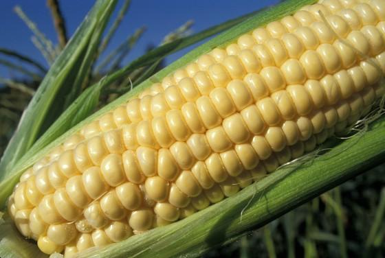 corn 560x376