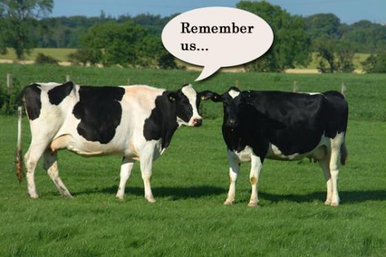 cows header 560x373
