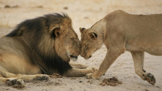 cecil and lioness brent stapelkamp 560x316