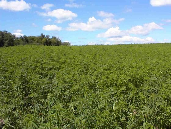 weed pot mary jane marijuana dope grass field reefer 560x423