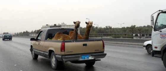 Funny Camel Photo 02 560x241