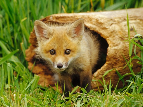 European Red Fox kit 560x420