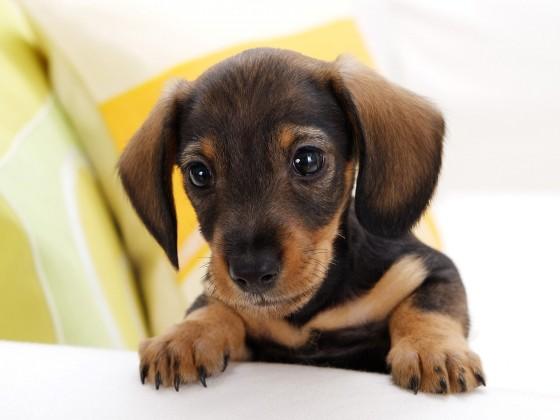 dachshund puppy 560x420