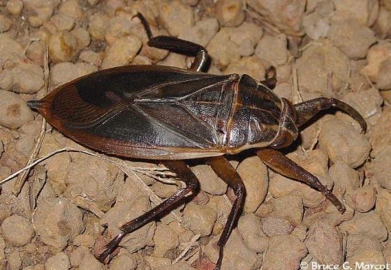 real waterbug 560x387