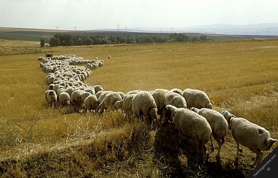 sheep 560x360