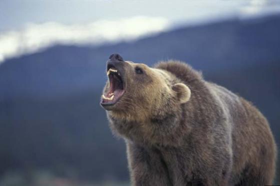 Bear Growling 560x373