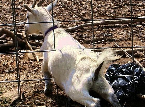 599px Goat houdini