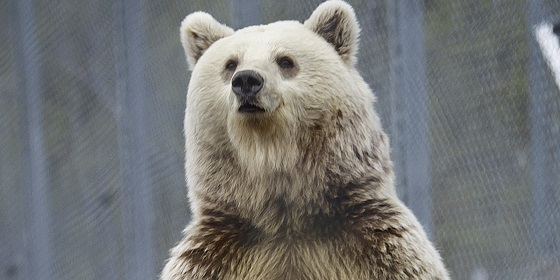 Ursus arctos Norway