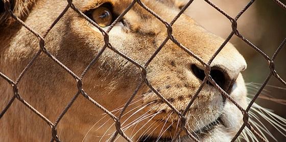 800px Lion behind bars Feb09