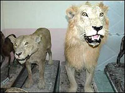 lav leopard