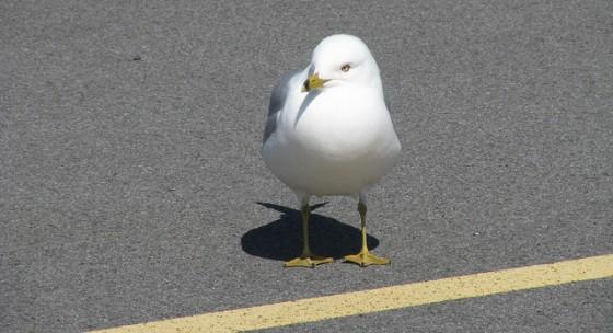 gull e1378687826929 560x304