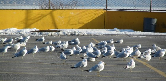 seagulls in parking lot e1378687788315 560x275