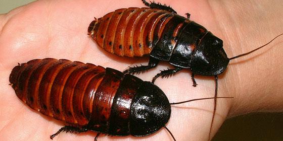 Cock Roaches