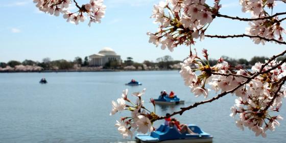 Cherry Blossoms 560x280