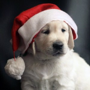Puppies in Santa Hats