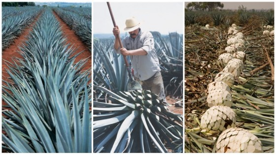 Agave Cactus 560x314