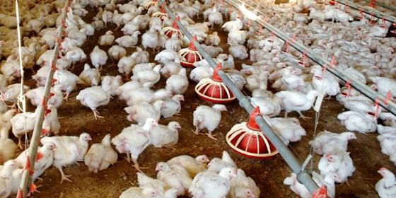 Chickens 560x280