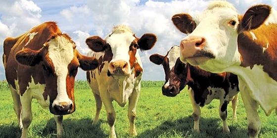 Cows 560x280