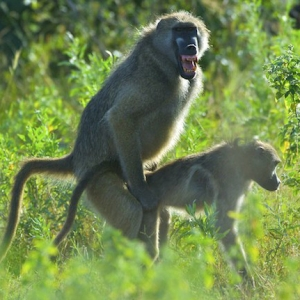 How to Court Ladies Like a Baboon