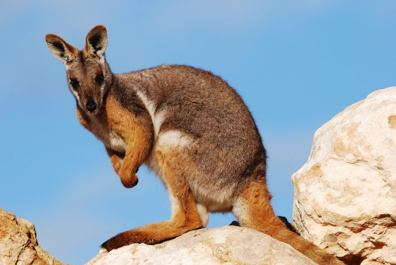 wallaby 560x375