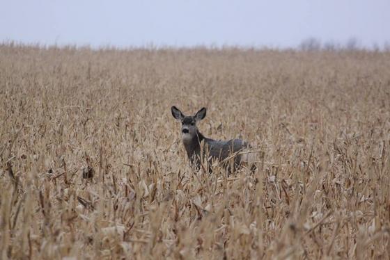 Deer 560x374