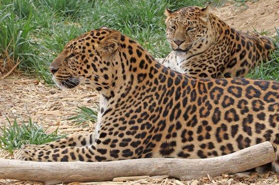 Leopard 560x373