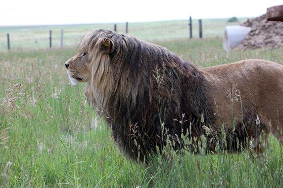 Lion 2 560x373