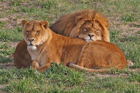 Lion 3 560x374