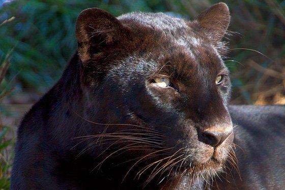 Panther 560x374