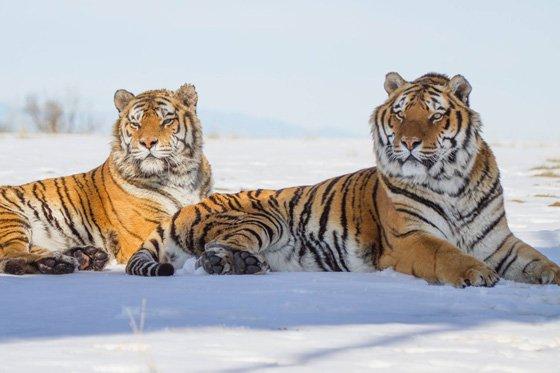 Tiger 5 560x373
