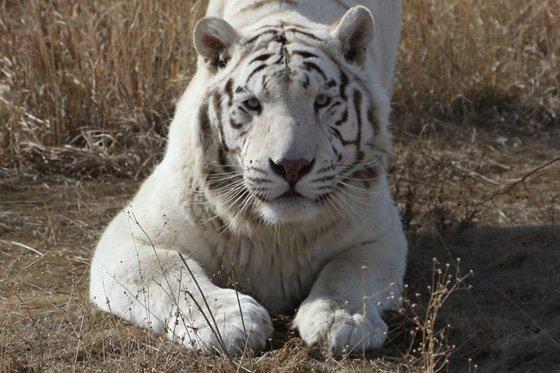 White Tiger 560x373