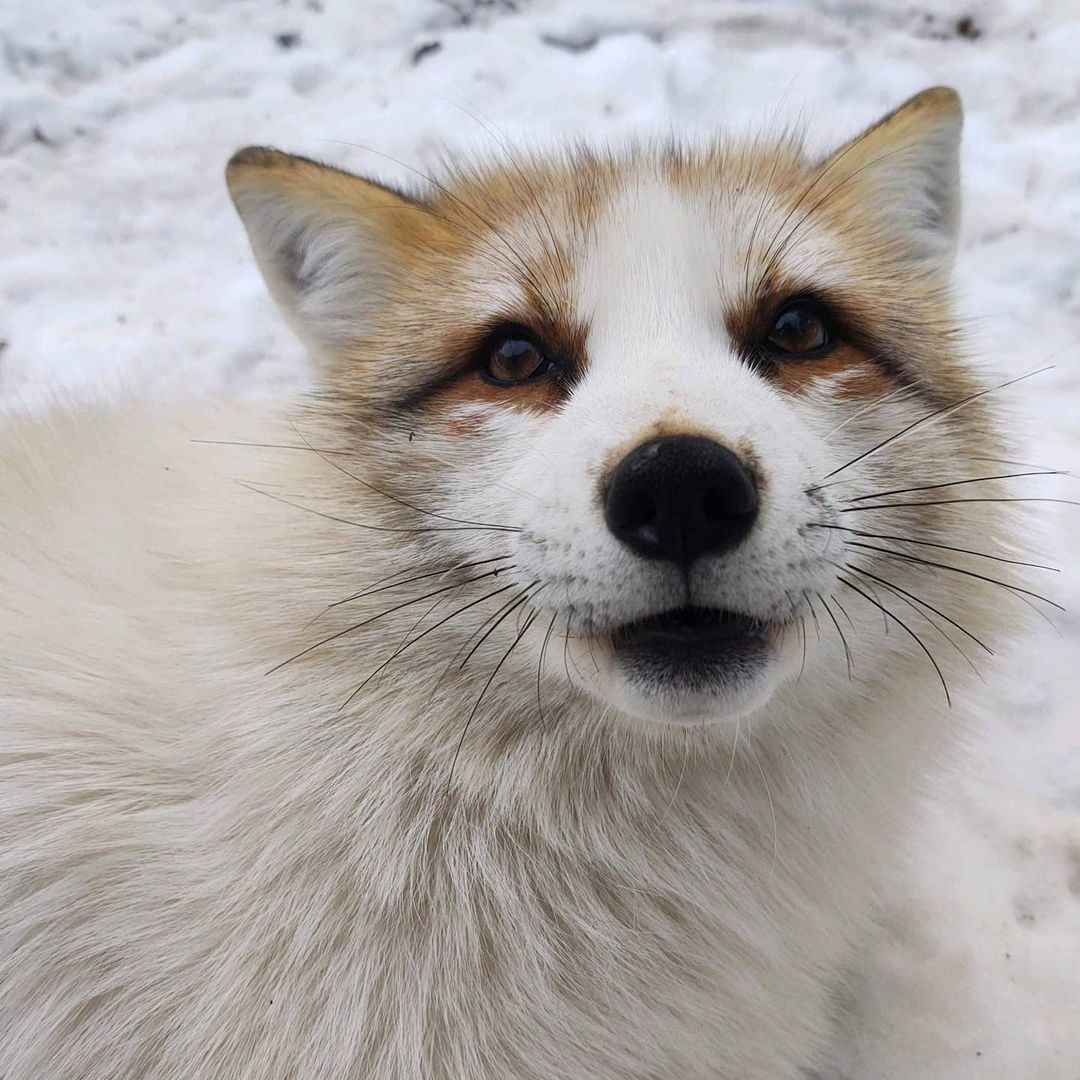 Closeup of a red fox (white coloration). There is snow on the ground.