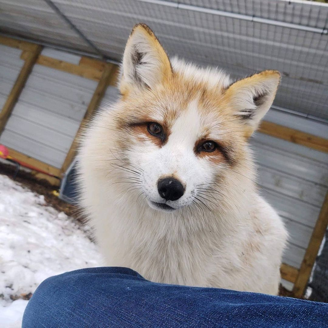 A red fox (White coloration) looking at camera. Someones leg is just in shot at the bottom of the image. Snow is on the ground.